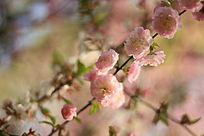 樱花点点盛开