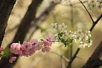 樱花和梨花比美