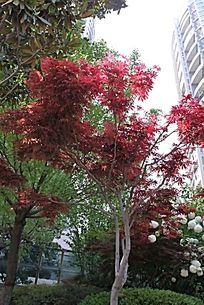 一片红枫树