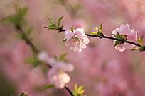 朦胧中的樱花