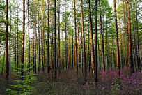 杜鹃花盛开的樟子松林