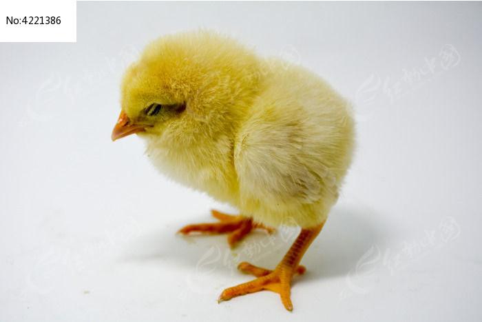 鸡仔总动员海报--仰头挺胸的小鸡_动物图片_红动手机版