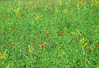 呼伦贝尔草甸百合花