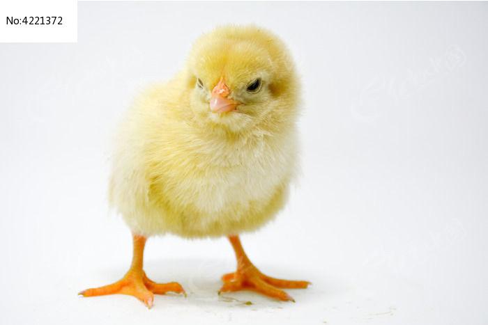 原创摄影图 动物植物 家禽家畜 可爱的小鸡  请您分享: 素材描述:红动