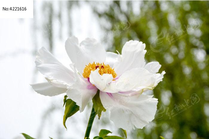 原创摄影图 动物植物 花卉花草 牡丹盛开  请您分享: 红动网提供花卉