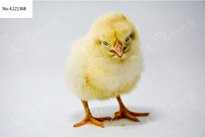 小鸡宝宝图片,高清大图_家禽家畜素材