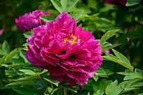 大朵紫红洛阳牡丹