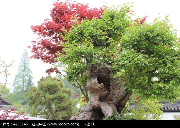 原创摄影图 动物植物 树木枝叶 景观树