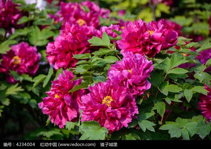 原创摄影图 动物植物 花卉花草 洛阳红牡丹多朵