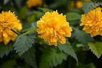 美丽的大朵棣棠黄色