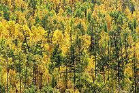 秋季的原始森林