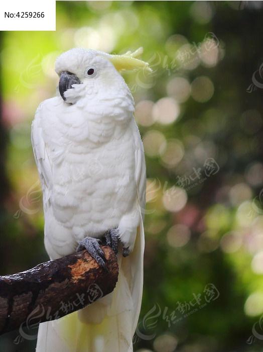 白色小葵花凤头鹦鹉高清图片下载 编号4259266 红动网