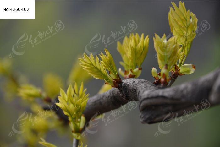 春天树枝叶子图片