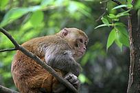 可爱的野生猕猴