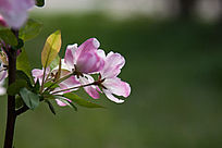 绿色背景海棠花
