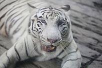 孟加拉白虎