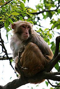 树上的黔灵山猕猴