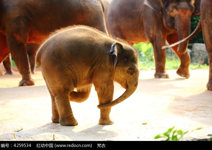 小象图片,高清大图_陆地动物素材