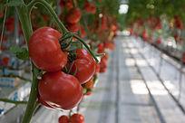 科技种植西红柿