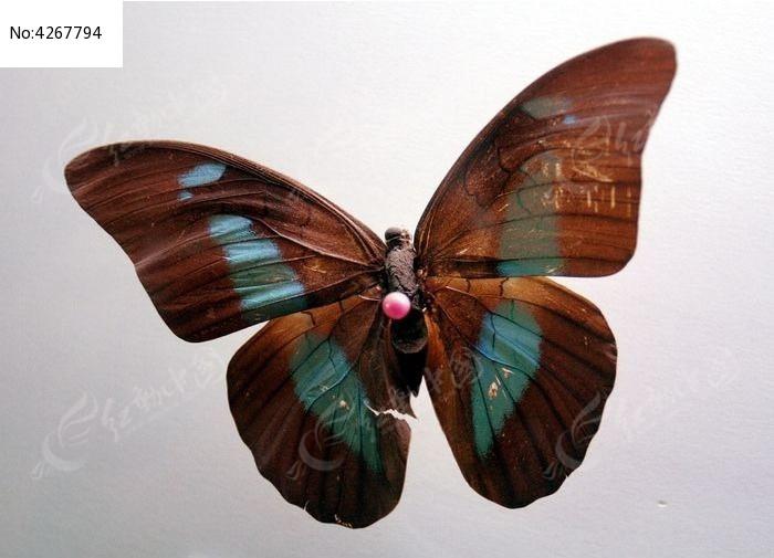 原创摄影图 动物植物 昆虫世界 蓝侠蝶