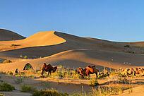 巴丹吉林沙漠骆驼