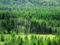 抚育后的松林