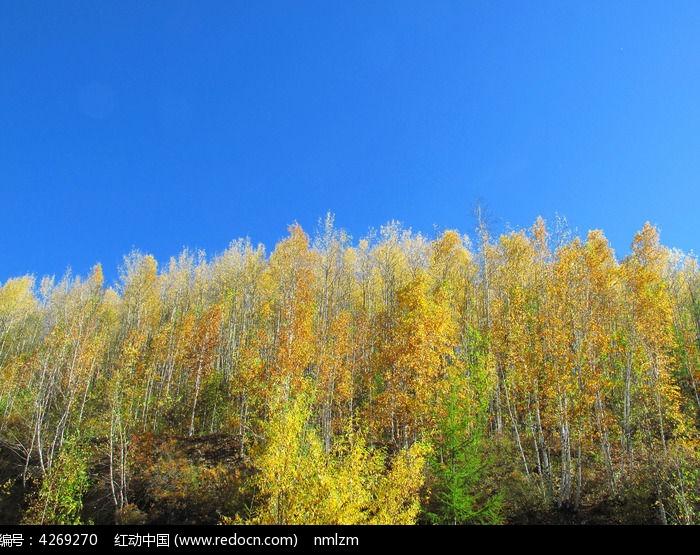 金色的桦树林图片
