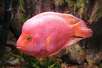 热带鱼 红鹦鹉