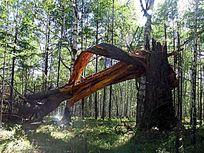 被风刮倒的老树