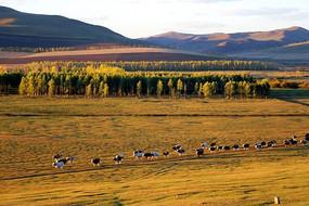 草原牧场的牛群