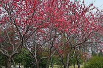 春天的满树红花