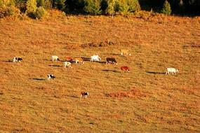 林间牧场牛群