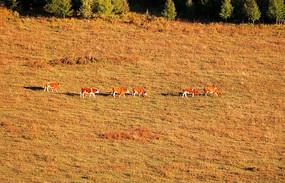 牧场牛群风光