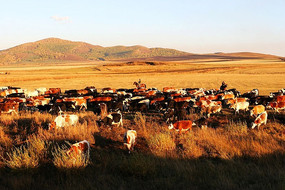 牧归的牛群