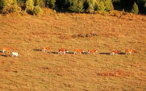 秋季牧场牛群