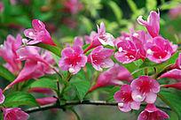 盛开的小红花