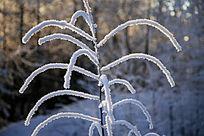 树枝晶莹的霜雪