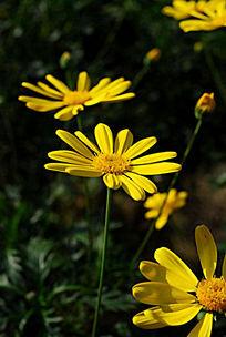 阳光下的雏菊