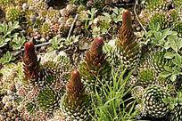 野生植物 瓦松