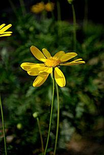 一朵侧面的雏菊