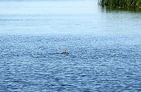 扎龙湿地水禽