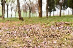 公园草坪上散落的花瓣