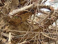 几百年的老树树根特写,自然斜线纹