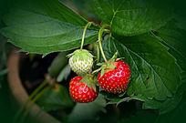 快成熟的草莓高清高分辨率摄影图