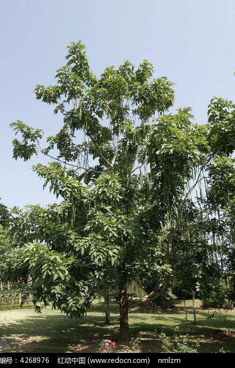 原创摄影图 动物植物 树木枝叶 腊肠树  请您分享: 红动网提供树木