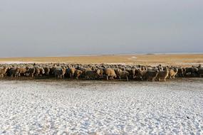 牧场雪原羊群