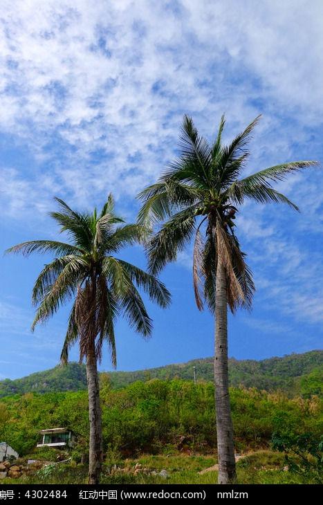 原创摄影图 动物植物 树木枝叶 南海风景区椰子树风光  请您分享: 红