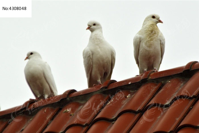 三只警惕的鸽子图片,高清大图