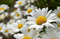 盛开的菊花高清高分辨率摄影图