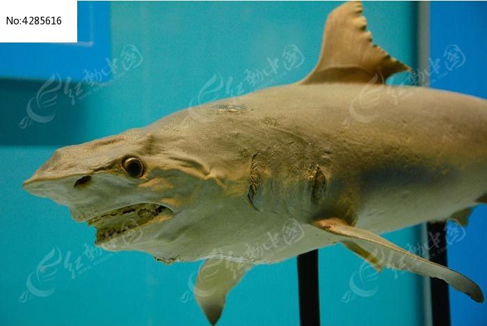 原创摄影图 动物植物 水中动物 天津自然博物馆内景-鲨鱼标本照片
